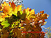 Plane Tree leaves in Autumn - thumbnail