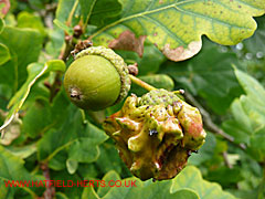 Normal acorn and a Knopper Gall